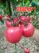 寿光晨宏种业为您提供抗TY病毒西红柿种子