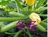 货到付款西葫芦种子,西葫芦种子批发,供应高产西葫芦种子