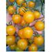 好厂家樱桃番茄种子//小番茄种子/晨宏进口西红柿种子
