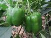 物超所值?方椒种子价格方椒种子批发如你所愿!