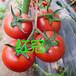 这里有优惠!大红进口西红柿种子--抗病毒西红柿种子