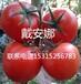 适合越冬种植的、耐低温种植的优质番茄种子//高产番茄种子