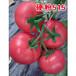 适合大棚越冬种植的西红柿种子哪里有?(晨宏种业)