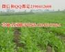 广东广西云南养鸡种草铁脚麻鸡养殖种植的青饲料牧草种子