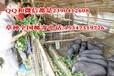 广西青饲料牧草种子环江香猪养殖种草