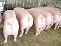 2016年仔猪价格市场价格行情分析图片