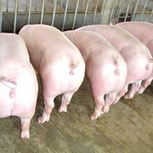 2016年仔猪价格市场价格行情分析