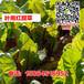 红甜菜种子根达菜莙荙菜血头菜四季蔬菜种子