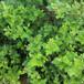 菊花脑种子菊花叶保健蔬菜盆栽蔬菜种子