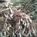 宝塔菜地葫芦螺丝菜甘露子地牯牛草石蚕种子