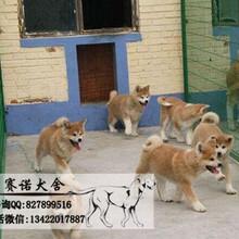 日系秋田犬美系带证书包三年高端伴侣犬护卫犬