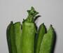 立秋时节潍坊青萝卜开始种植了,种子热卖