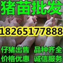 浙江猪仔猪苗市场最新价格图片