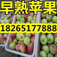 山东现在优质苹果市场最新价格图片