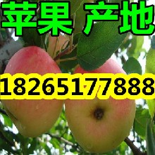 山东嘎啦/美八苹果价格行情图片