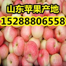 山东优质嘎拉苹果价格行情图片