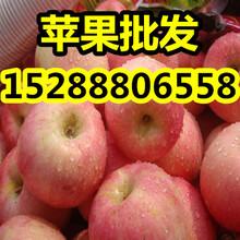 山东精品苹果价格嘎拉/美八苹果行情图片