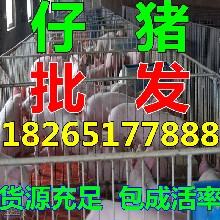 供应山东猪场外三元猪仔图片
