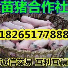 最近大量供应仔猪批发仔猪价格图片
