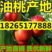 山东大棚优质油桃价格最便宜了图片