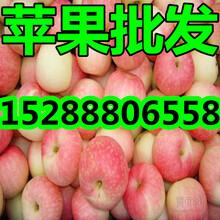 山东早熟苹果大量上市产地直销图片