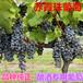 纯正赤霞珠葡萄苗酿酒葡萄一种用于酿造葡萄酒的红葡萄品种