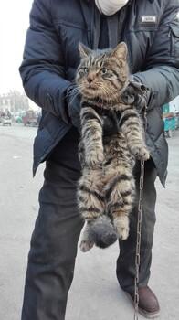 大量肉猫,家猫,田园猫出售正规肉猫繁育基地欢迎您。