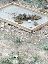 哪里有蟾蜍养殖场-华荣蟾蜍养殖专业合作社了解蟾蜍养殖效益图片