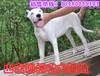 杜高犬价格哪里有卖杜高犬的