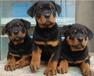 罗威纳犬价格_罗威纳犬多少钱_罗威纳犬图片_罗威纳领养转让