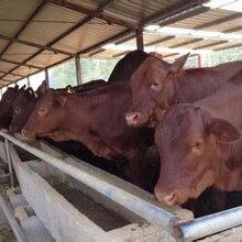 利木赞牛养殖先养殖后付款图片
