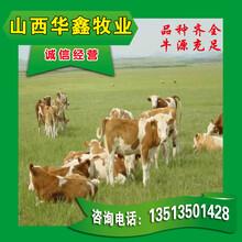 三元雜交牛養殖養牛場品種好高額補貼圖片