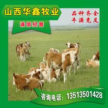 三元杂交牛养殖养牛场品种好高额补贴图片