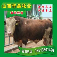 改良牛養殖改良肉牛價格優惠_買30頭送2頭圖片