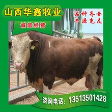 改良牛养殖改良肉牛价格优惠_买30头送2头图片