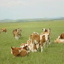 海福特牛養殖農村養牛補貼十萬圖片