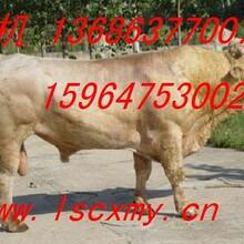 供应山东夏洛莱牛养殖场夏洛莱牛市场价格哪里有卖夏洛莱牛图片