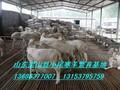 供应国宝小尾寒羊养殖场小尾寒羊羔羊价格图片