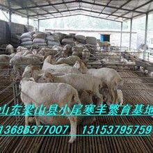 供應國寶小尾寒羊養殖場小尾寒羊羔羊價格圖片