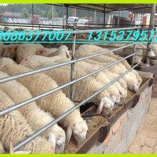 供应山东多胎纯种小尾寒羊养殖场小尾寒羊母羊价格图片