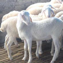 供應山東湖羊養殖基地湖羊現在價格圖片