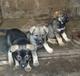 玉溪买昆明犬的地方易门县哪里买昆明犬玉溪狗场在哪里