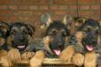 維西縣買德牧/維西縣買看家護衛犬/維西附近犬舍