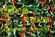 上海国飞苗木枸杞苗种植哪家专业