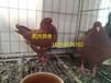 柳州出售特大元宝鸽。