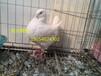 江西出售特大元宝鸽,邮鸽,马耳他,毛领鸽等50多个品种