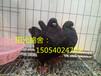 云南出售特大元宝鸽,黄元宝,红元宝2.5斤元宝鸽。