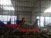 上海黄浦出售黑细花淑女鸽,秀鸽,熊猫金鱼鸽等