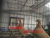 吉林长春出售特大元宝鸽,弯嘴大鼻子鸽,淑女鸽,等品种