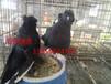 广东茂名出售熊猫金鱼鸽,外国原环元宝鸽,邮鸽等